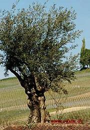 Baumzeichen olivenbaum